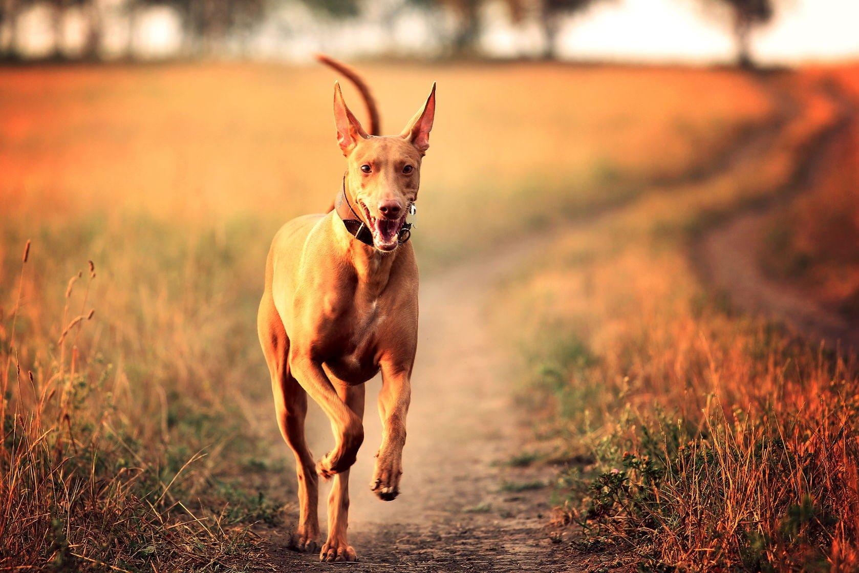 American Hound Jerky Dog Treats