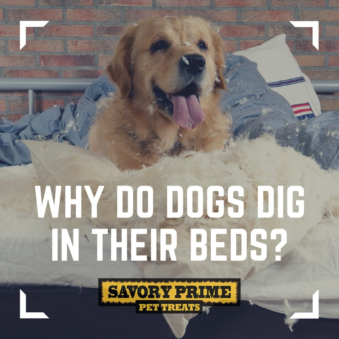 Why Do Dogs Dig In Their Bed