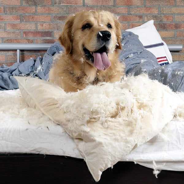 Why Do Dogs Dig In Their Beds Savory Prime Pet Treats
