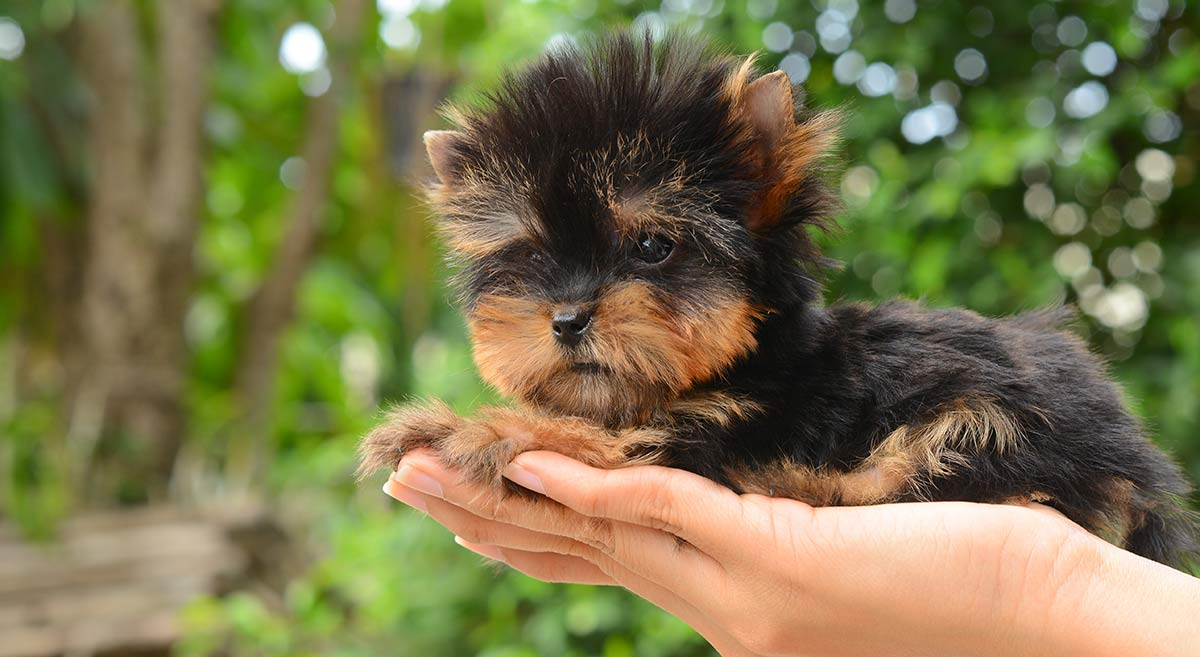 Teacup Yorkie The World S Smallest Dog Savory Prime