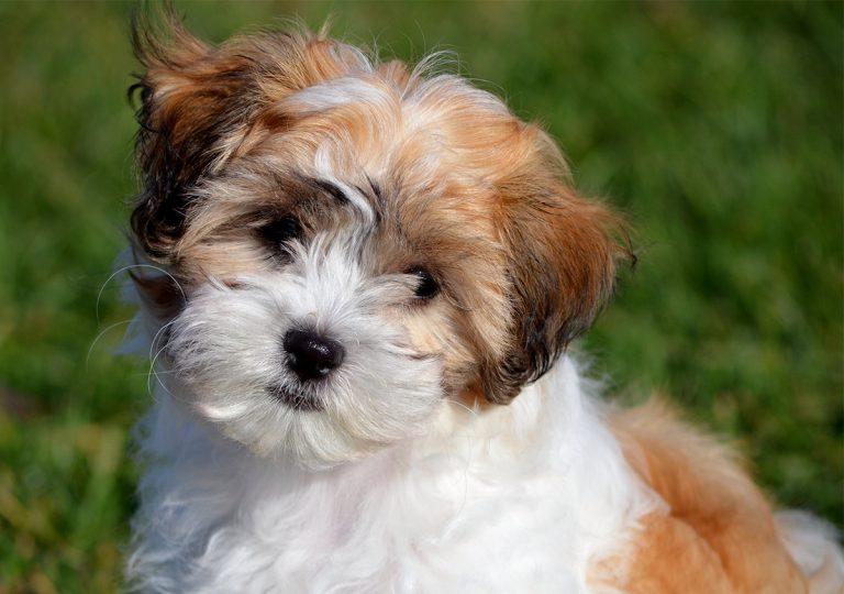 Zuchon Dog Breeders Uk