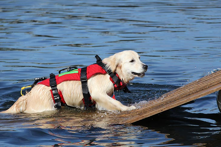 Golden Retriever With Life Jacket In Lake On Ramp Savory Prime Pet