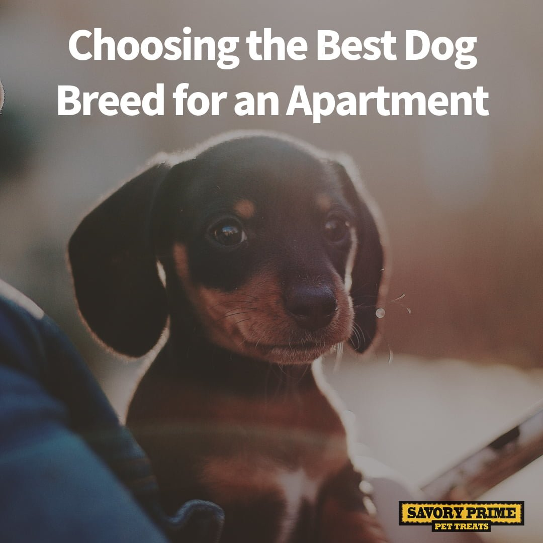 Choosing The Best Dog Breed For An Apartment